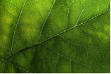 "Figure 3: The tiny ""veins"" in a leaf correspond to the capillaries in humans that extend outward to our skin."