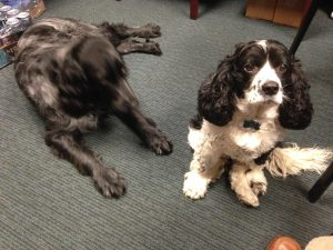 Inky & Pocket, our WoundDogs at Encompass HealthCare and Wound Medicine, West Bloomfield, Michigan